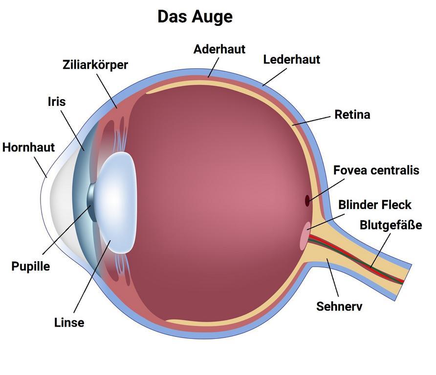 Infografik - Auge