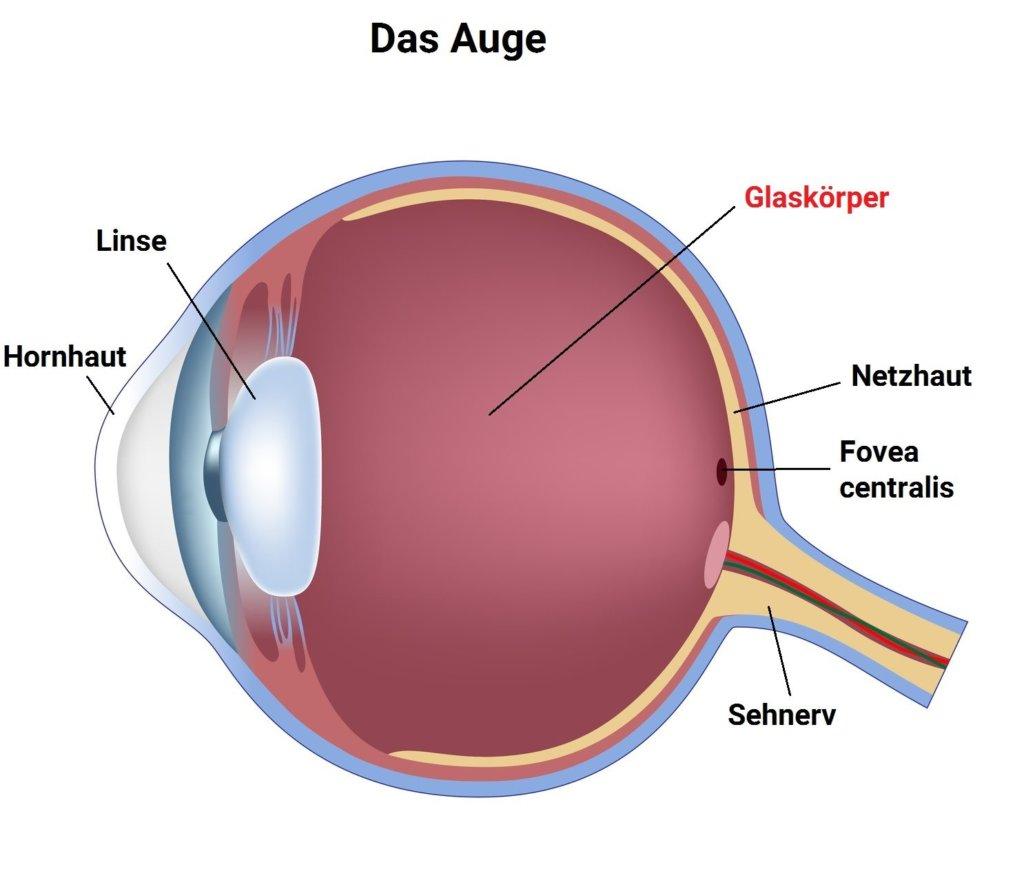 Glaskörper (Auge)