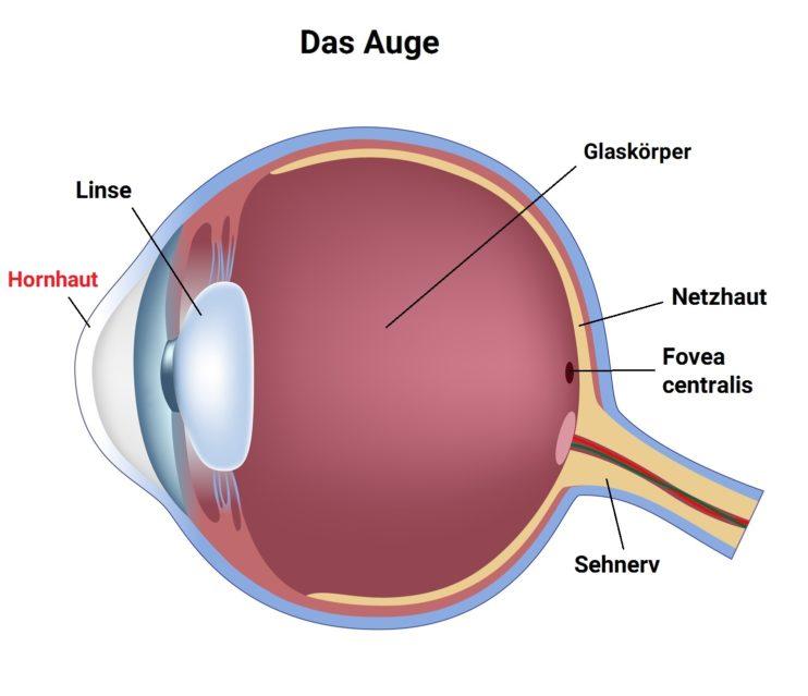 Die Hornhaut des Auges