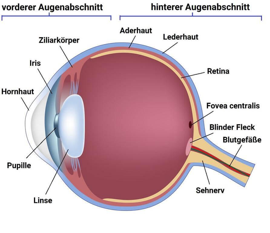 Augenabschnitte