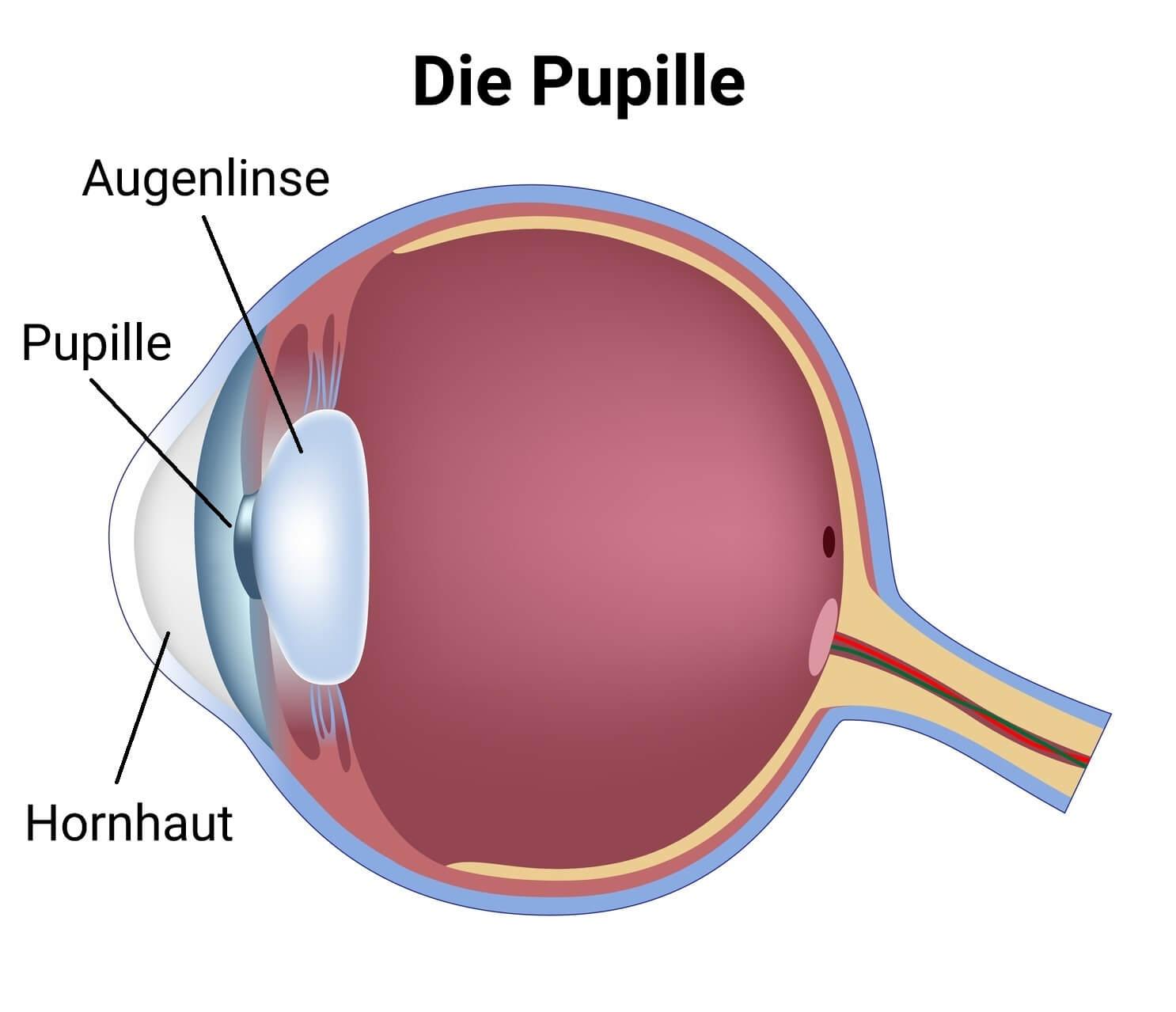 Anatomie Pupille
