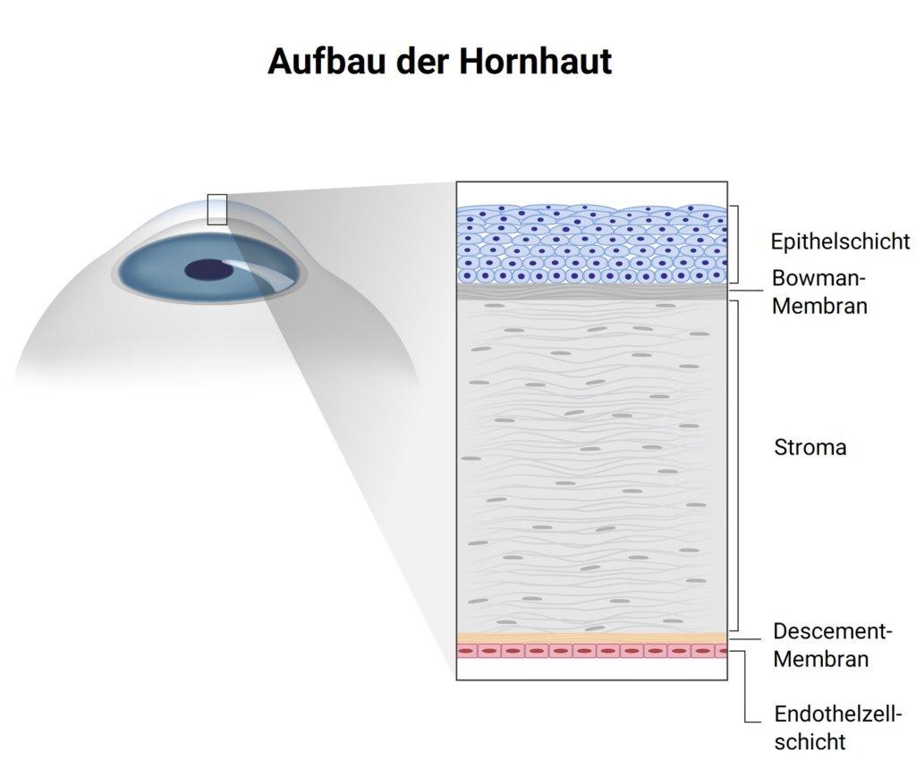 Aufbau der Hornhaut (Auge)