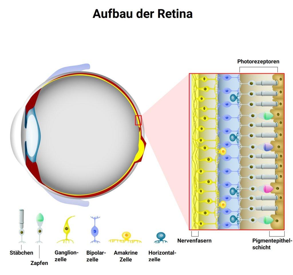 Photorezeptoren: Die unterschiedlichen Typen
