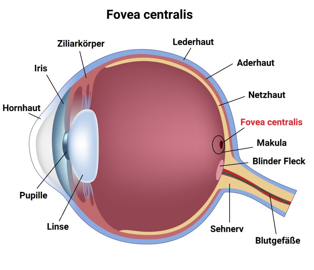Infografik - Fovea centralis