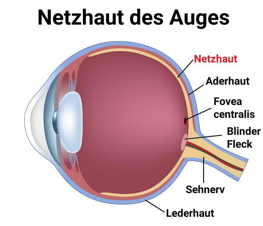 Netzhaut des Auges Grafik