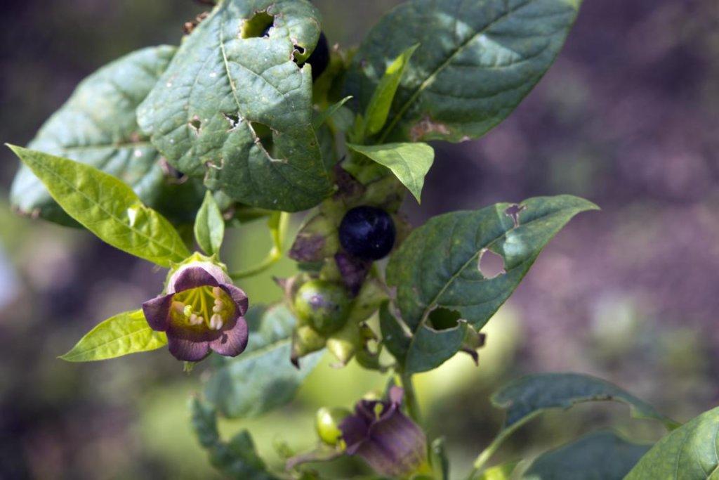 Tollkirsche (Atropa belladonna)