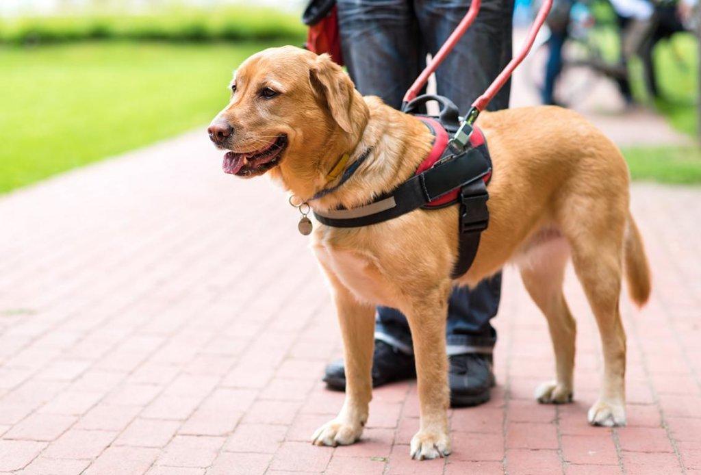 Blindeführhunde Ausbildung
