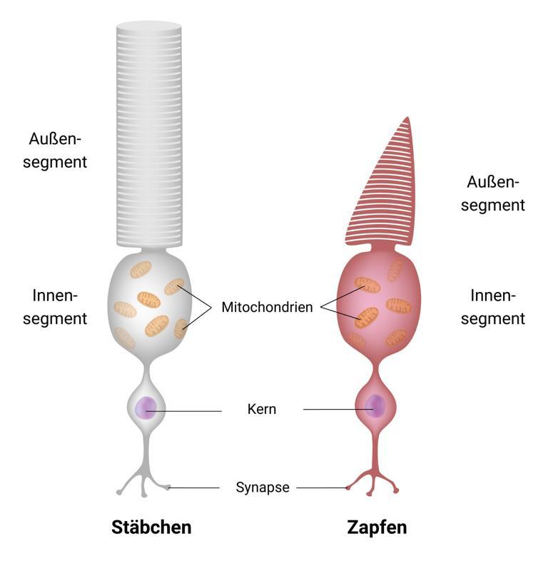 Photorezeptoren: Aufbau